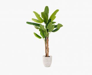 Tropical Banana Tree along with Pot H 274 cm