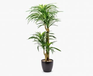 Small Yucca with Pot H 104 cm